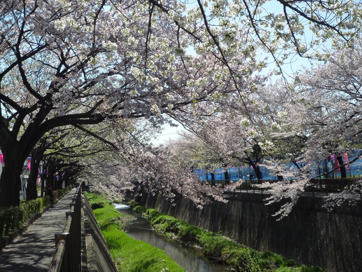 三沢川の桜並木