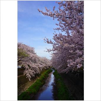 満開の桜と三沢川