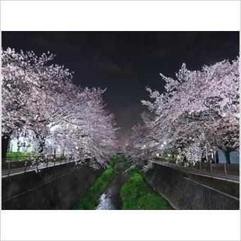 夜桜のきらめき