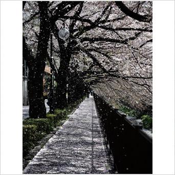 桜花の舞い
