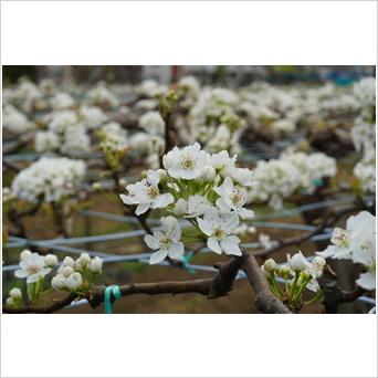 白の梨の花