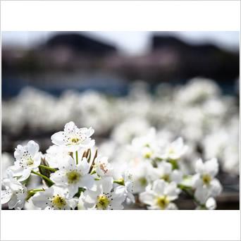 梨花の雄蕊 熟すころ